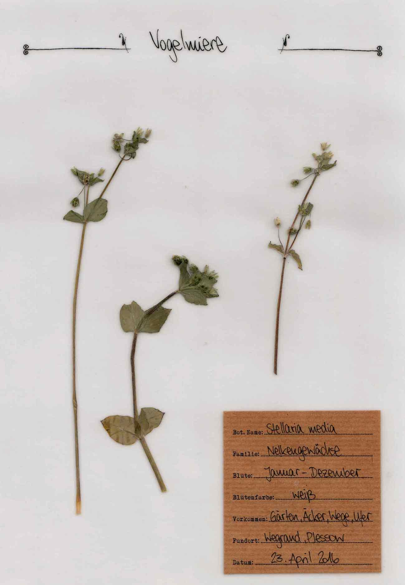Vogelmiere Pflanzenportrait im digitalen Herbarium – Herbal Hunter