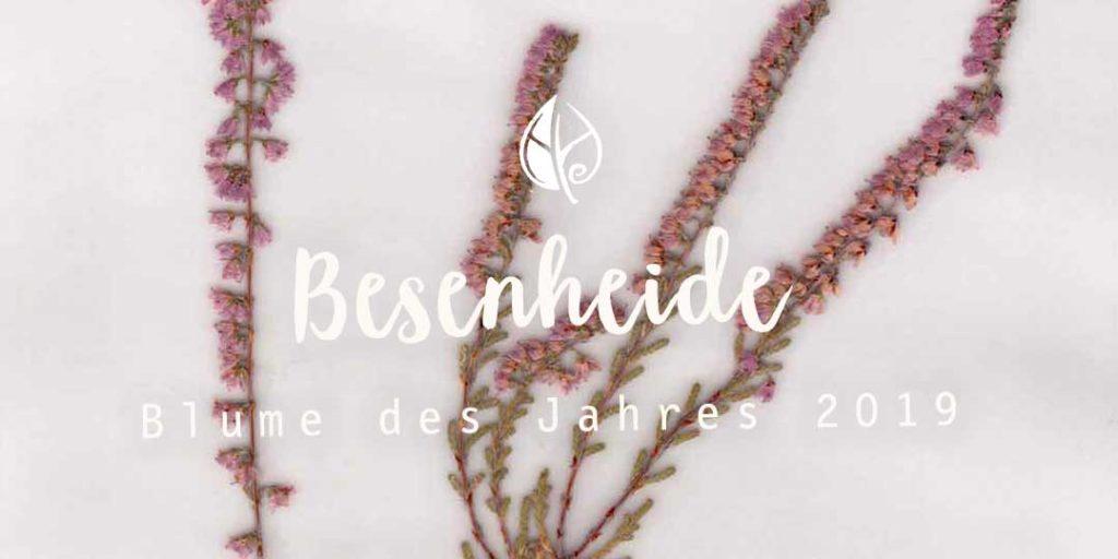 Besenheide – ein ausführliches Pflanzenportrait vom Herbal Hunter aus dem digitalen Herbarium