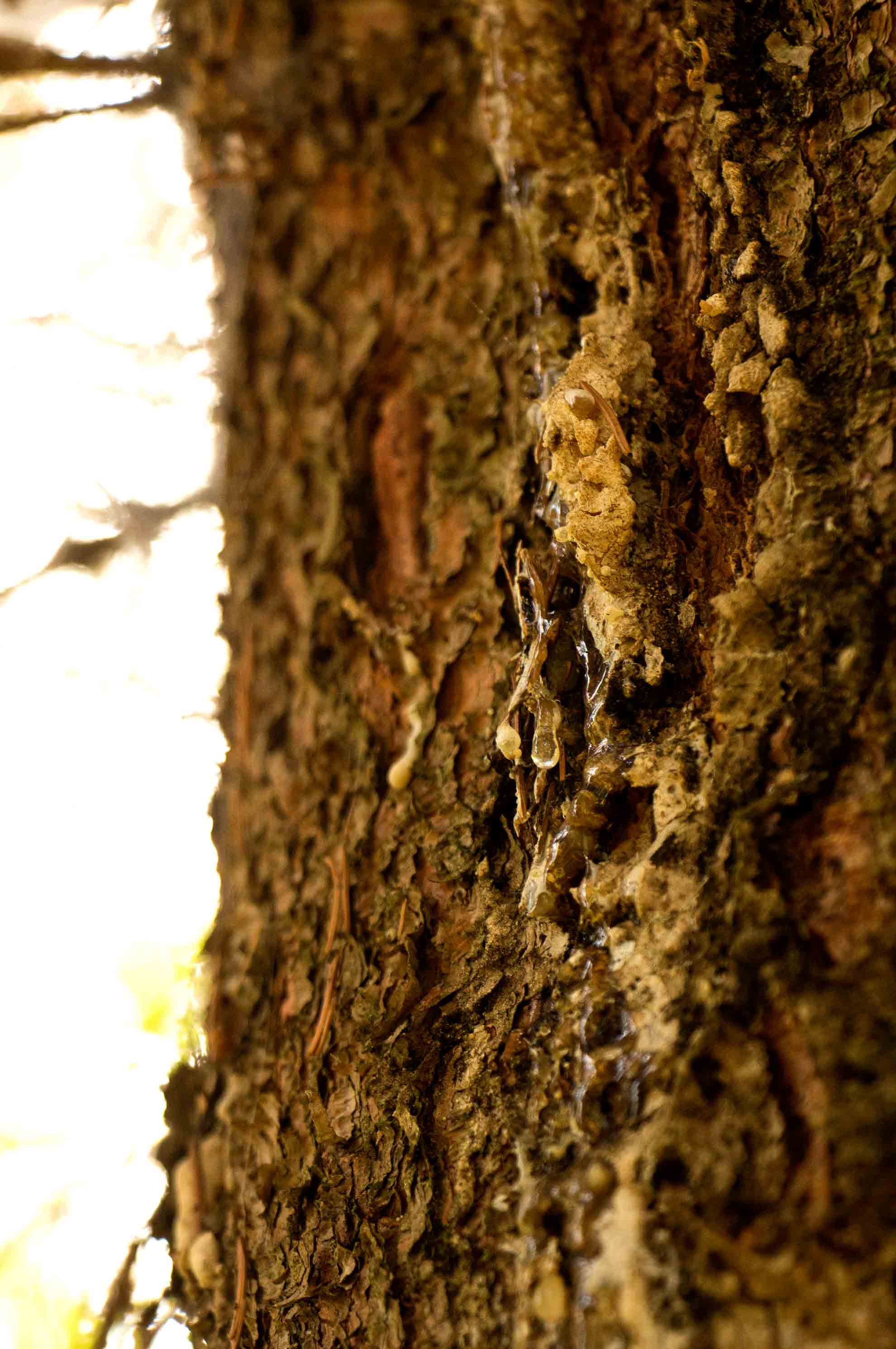 Herbal Hunter – Pechsalbe selber herstellen aus Fichten-Baumharz