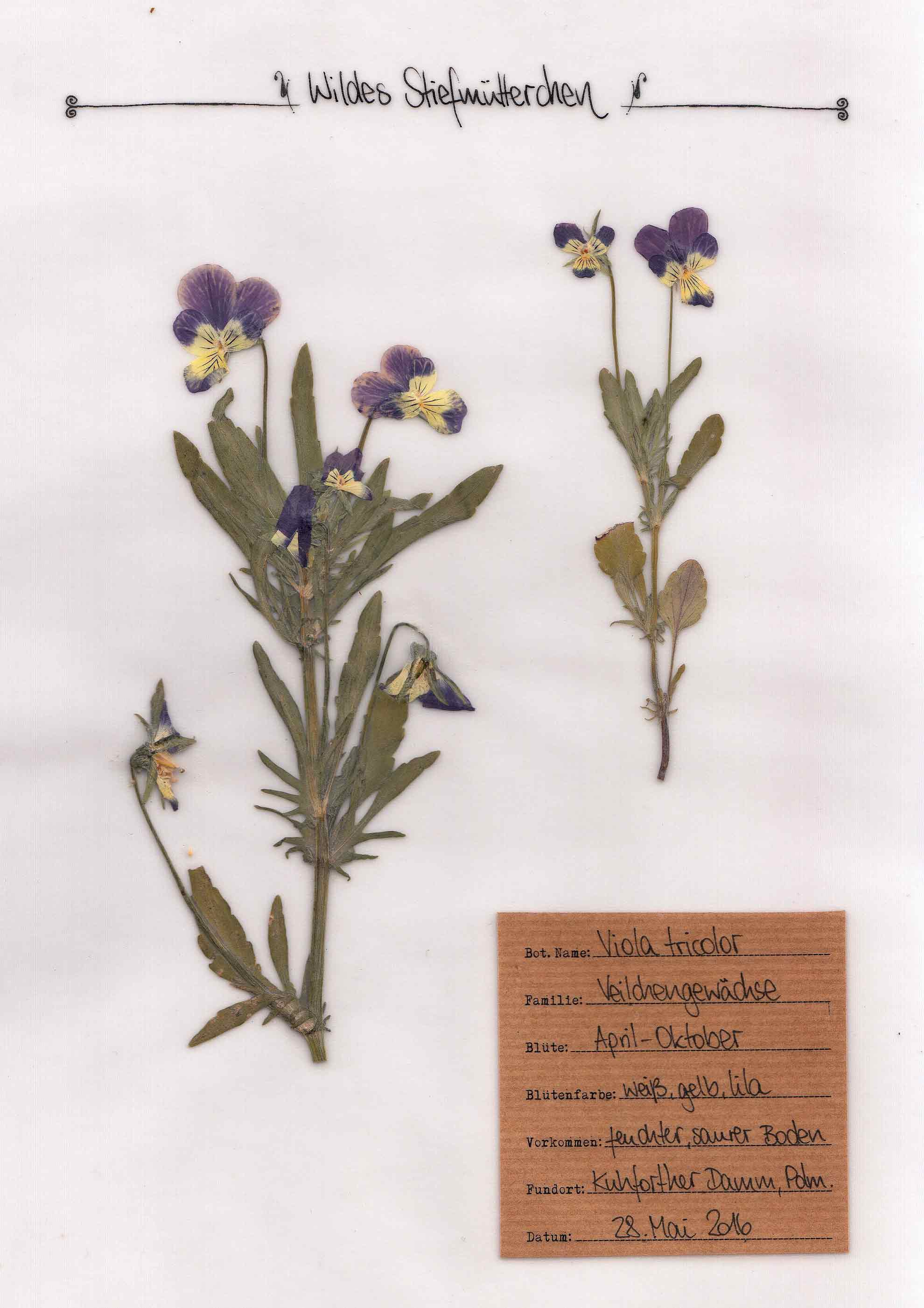 Wildes Stiefmütterchen Herbal Hunter Pflanzenportrait im digitalem Herbarium