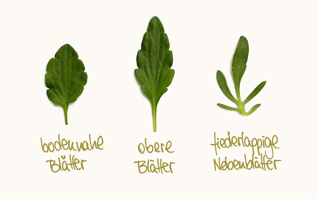 Herbal Hunter – Wildpflanzen Bestimmen, Sammeln und Verarbeiten – Wildes Stiefmütterchen Blätter in der Übersicht