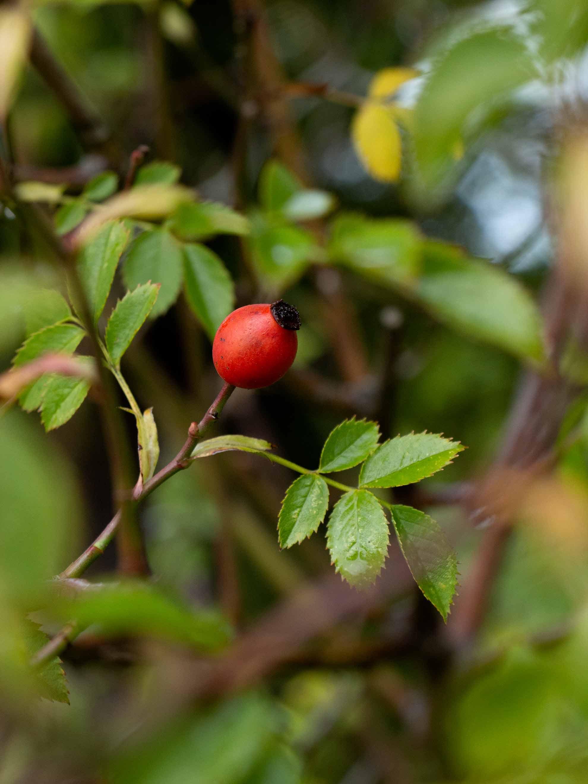 Hagebutten – Herbal Hunter – Kräuterblog – Hagebuttenmus – Hagebuttenlove