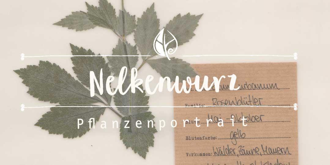 Nelkenwurz Pflanzenpotrait digitales Herbarium Herbal Hunter Kräuterblog