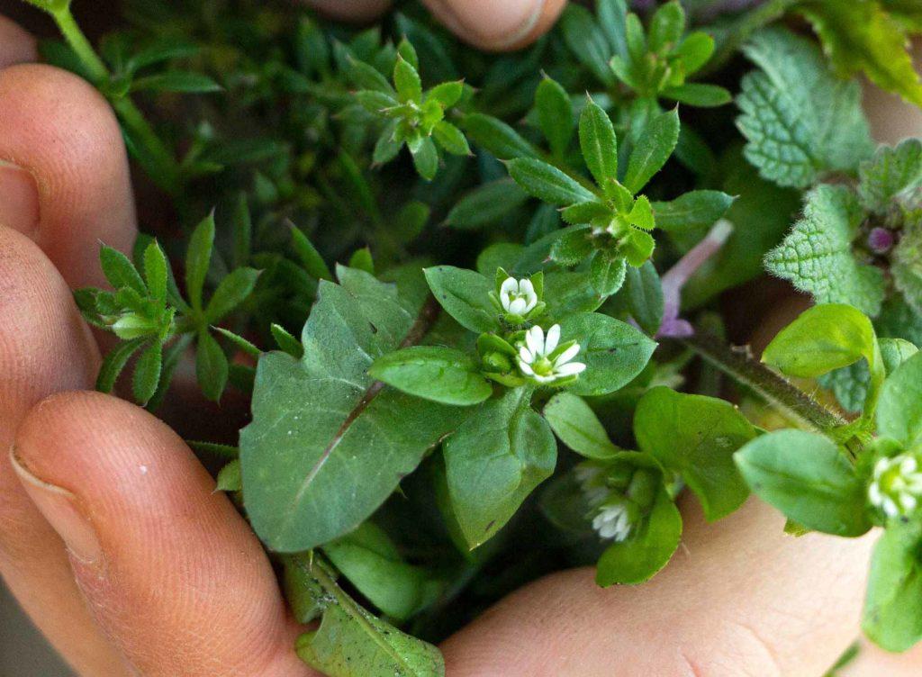 Wildkräuter für Jahres-Kräutersalz sammeln Herbal Hunter Kräuterküche
