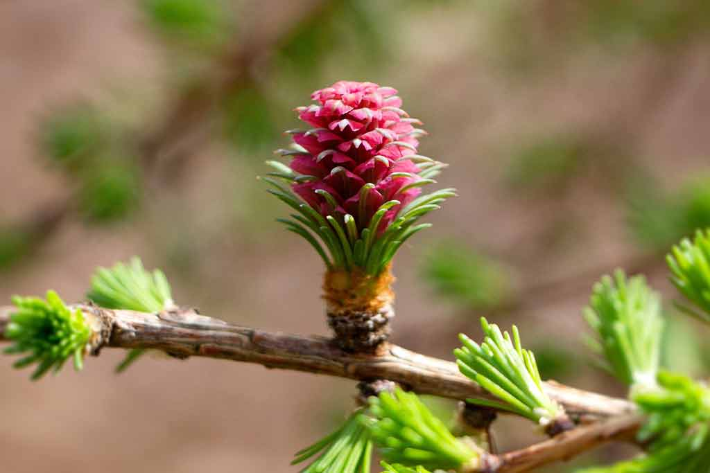 Ich ess' Bäume Lärchenzapfen Herbal Hunter Rezepte Kräuterblog