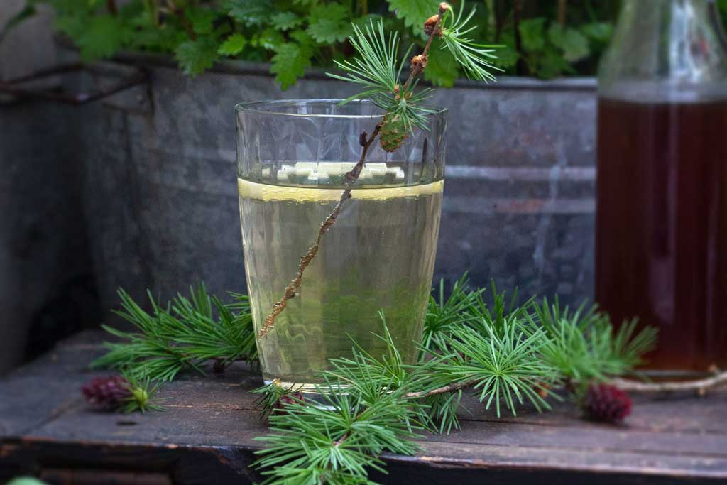 Ich ess' Bäume. Baumküche – Die Lärche. Herbal Huntert Kräuterblog. Rezept Lärchen-Sirup