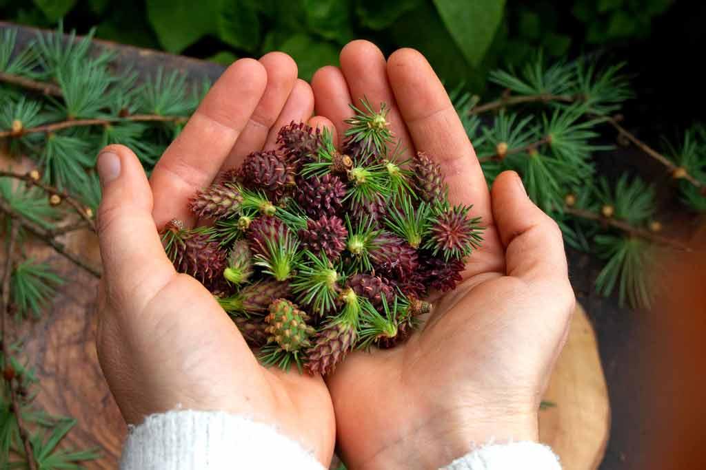 Ich ess' Bäume – Lärche – Baumküche – Rezepte Herbal Hunter Kräuterblog